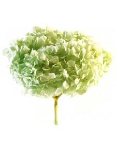 Hortensia Verde Manzana